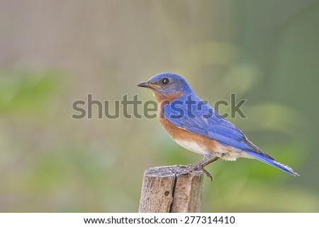 Male Eastern Bluebird in Louisiana Spring - stock photo