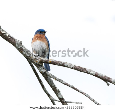 Male Eastern Bluebird on White Background, Isolated