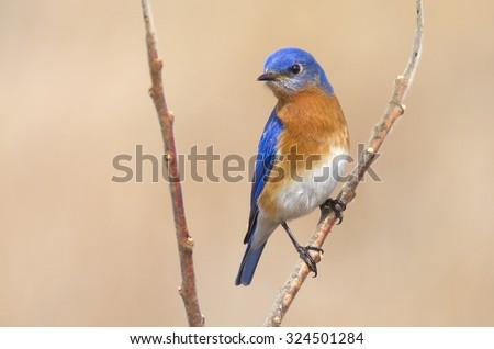 Male Eastern Bluebird Perched on a branch in springtime. Vibrant blue color on the birds wings and head with a proud pose. - stock photo