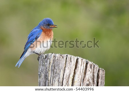 Male Eastern Bluebird perched on a fence post against a blurred background.