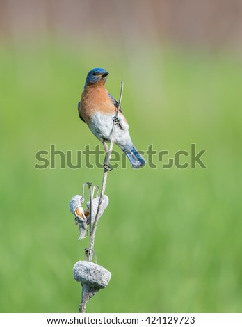 Male Eastern Bluebird Perched on Dry Milkweed