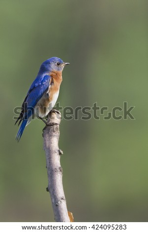 Male Eastern Bluebird Perched on the tip of a branch
