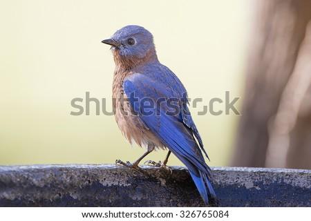 Male Eastern Bluebird Profile - stock photo