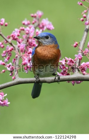 Male Eastern Bluebird (Sialia sialis) in a cherry tree with flowers - stock photo