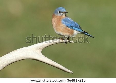 Male Eastern Bluebird (Sialia sialis) on a deer antler with a green background - stock photo
