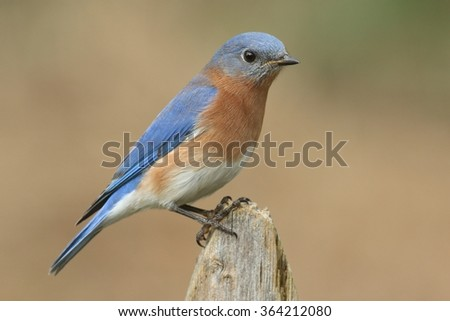 Male Eastern Bluebird (Sialia sialis) on a fence with a brown background - stock photo
