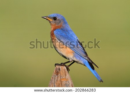 Male Eastern Bluebird (Sialia sialis) on a fence with a green background