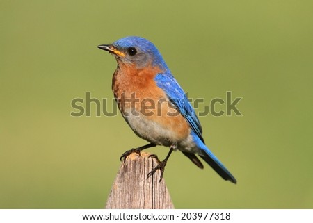 Male Eastern Bluebird (Sialia sialis) on a fence with a green background - stock photo