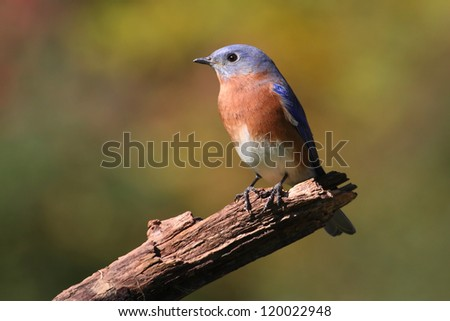 Male Eastern Bluebird (Sialia sialis) on a perch with a green background