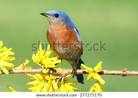 Male Eastern Bluebird (Sialia sialis) on a perch with forsythia flowers - stock photo