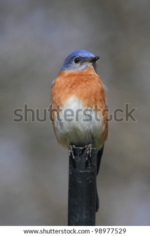 Male Eastern Bluebird (Sialia sialis) on a post with a green background