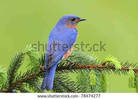 Male Eastern Bluebird (Sialia sialis) on a spruce branch - stock photo