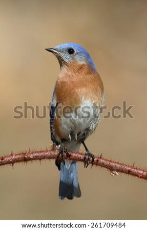 Male Eastern Bluebird (Sialia sialis) perched on a blackberry bush - stock photo