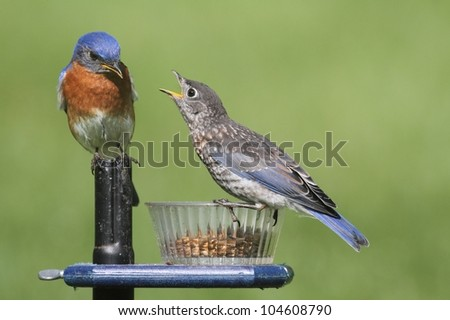 Male Eastern Bluebird (Sialia sialis) with his hungry baby - stock photo