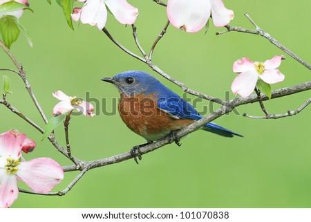 Male Eastern Bluebird (Sialia sialis) with pink Dogwood flowers - stock photo