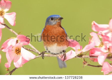 Male Eastern Bluebird (Sialia sialis) with pink Dogwood flowers - stock photo