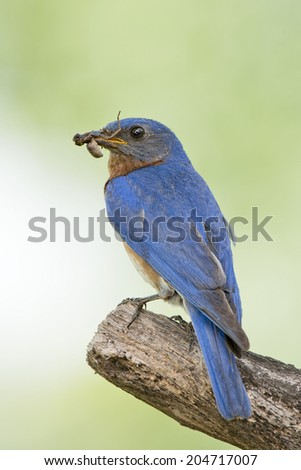 Male Eastern Bluebird with Food for Nestlings