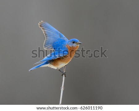 Male  Eastern Bluebird with Open Wings