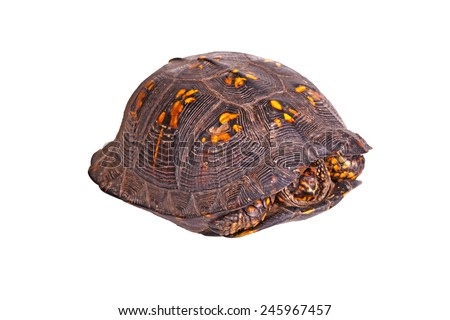 Male eastern box turtle (Terrapene carolina carolina) hiding in its carapace shell isolated against a white background