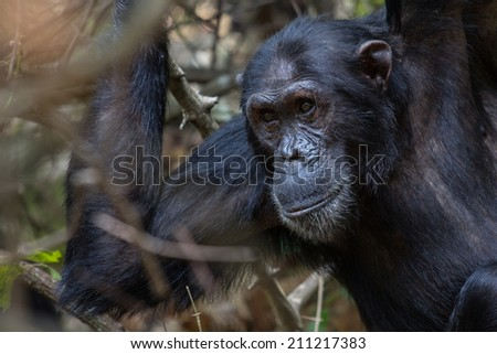 Male Eastern chimpanzee looking intently