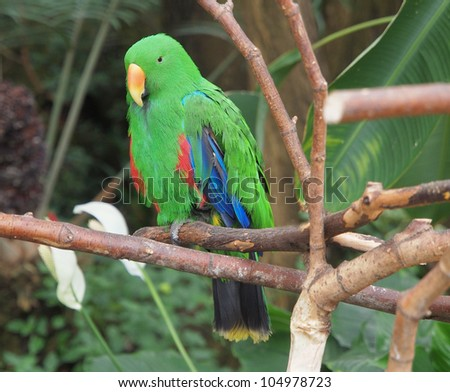 Male Eclectus Parrot (Eclectus roratus) perched amidst lush greenery, landscape orientation