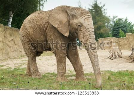 Male elephant - stock photo