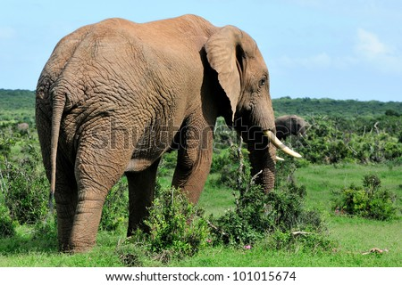 Male Elephant in the Addo Elephant National Park, South Africa
