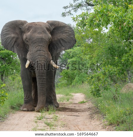 male elephant on path leaning