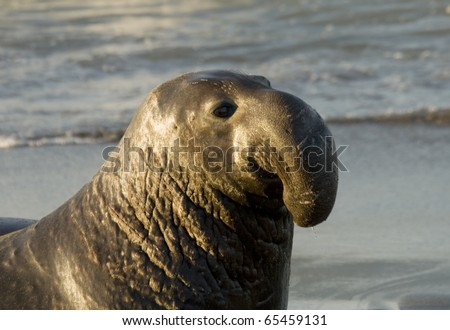 Male Elephant Seal on Beach in San Simeon