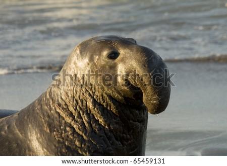 Male Elephant Seal on Beach in San Simeon - stock photo