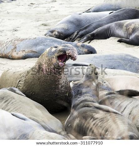 Male Elephant Seal Portrait - stock photo