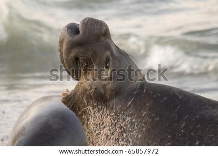 Male Elephant Seal protecting his harem on Piedras Blancas Beach in San Simeon - stock photo