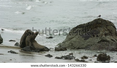 Male Elephant Seals Fighting at Big Sur, California - stock photo