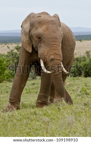 male elephant standing and eating grass in the middle of a savannah - stock photo