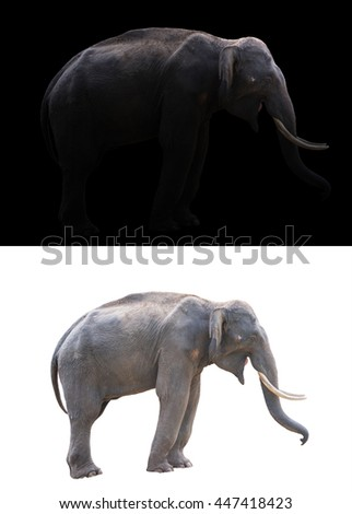 male elephant standing at night time with spotlight and male elephant isolated