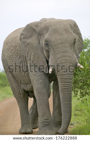 Male elephant with Ivory tusks walking down road through Umfolozi Game Reserve, South Africa, established in 1897 - stock photo