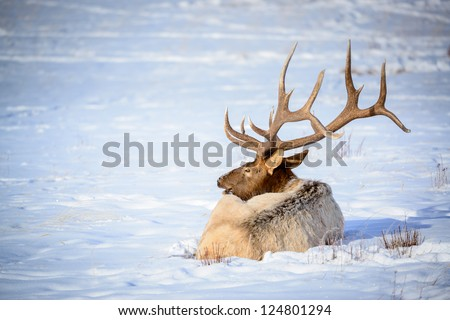 Male Elk, National Elk Refuge, Jackson Hole, Wyoming - stock photo