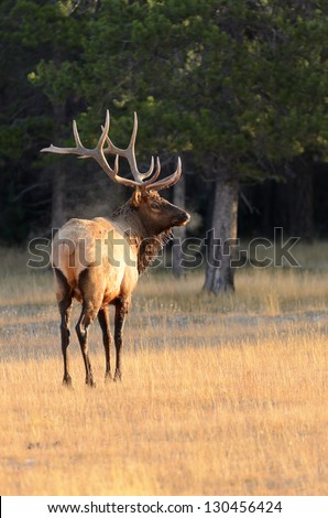Male Elk or Wapiti (Cervus canadensis) with breath visible on cold morning in Banff National Park Alberta Canada - stock photo