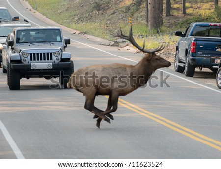 Male Elk runs across a road in Rocky Mountain National Park on September 7th 2017 in Colorado as onlookers stop cars to watch near the busy entrance.