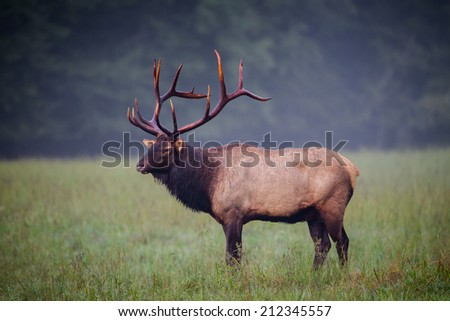 Male Elk with full rack of antlers stands in left profile