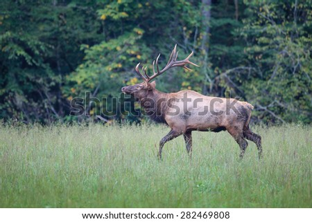 Male elk with huge rack - stock photo