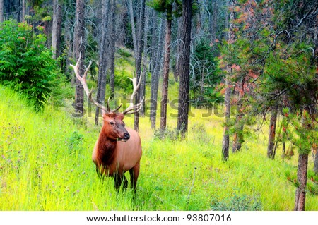 Male elk with large antlers in Banff National Park, Canada