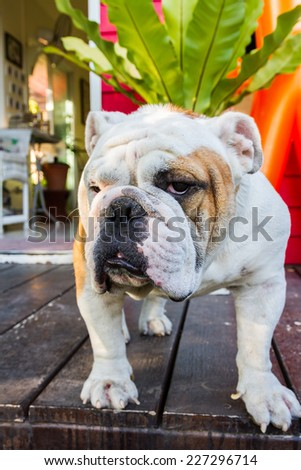 male english bulldog standing and looking
