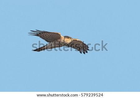 Male Eurasian sparrowhawk (Accipiter nisus) in flight on blue sky background