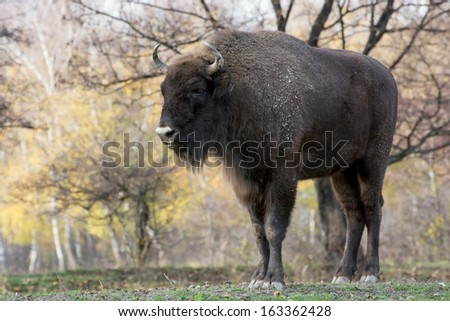 Male European bison or Wisent (Bison bonasus) in the autumn forest. - stock photo