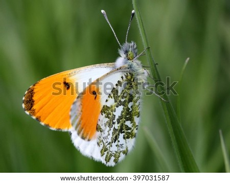 Male European Orange Tip Butterfly (Anthocharis cardamines)