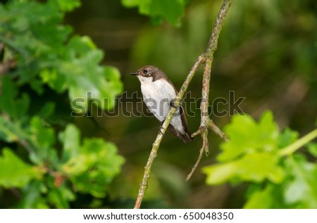 Male European pied flycatcher on a branch