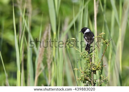 Male European stonechat in the reed - stock photo
