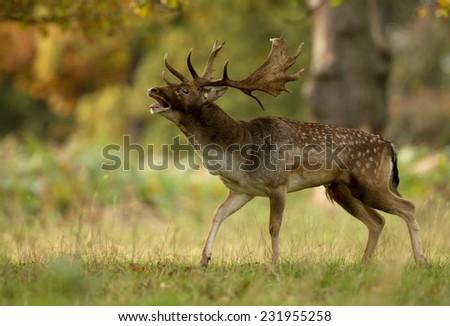 Male fallow deer (Dama dama) during rut in autumn, UK - stock photo