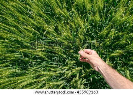 Male farmer in wheat field, personal point of view, hand touching cereal crops